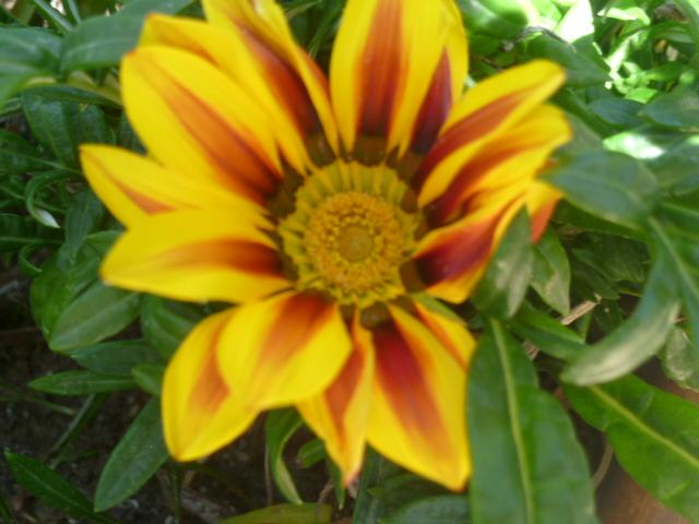 Gazania - espèces et cultivars Bougan10