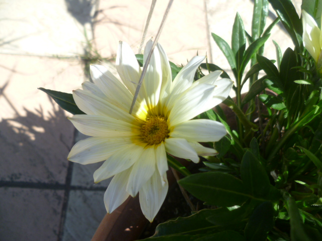 Gazania - espèces et cultivars Bougan11