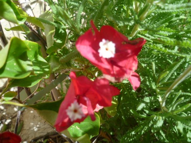 Bougainvillea - hybrides et cultivars Bougan14