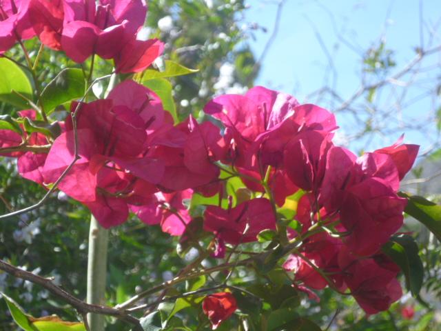 Bougainvillea - hybrides et cultivars Bougan15