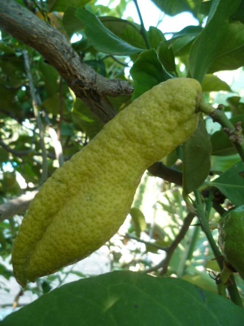 Citrus limon - citronnier des quatre saisons - Page 5 Bourdo10