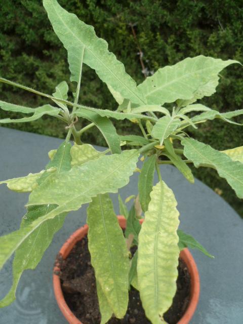 Brugmansia 'Culebra' Brugma26