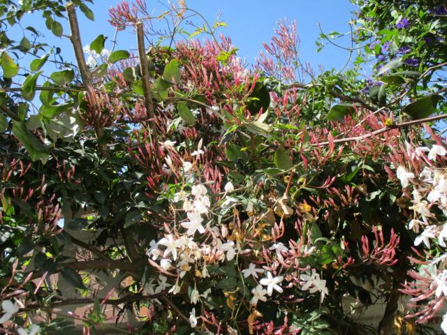Jasminum polyanthum - Page 2 Brunfe11