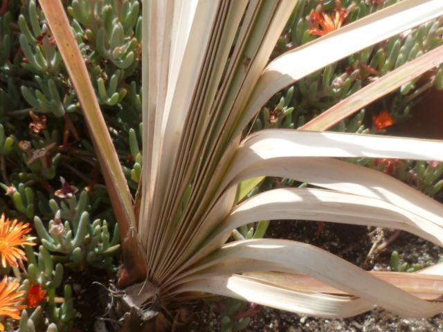 palmier sabal [identification à suivre] Bulbil10