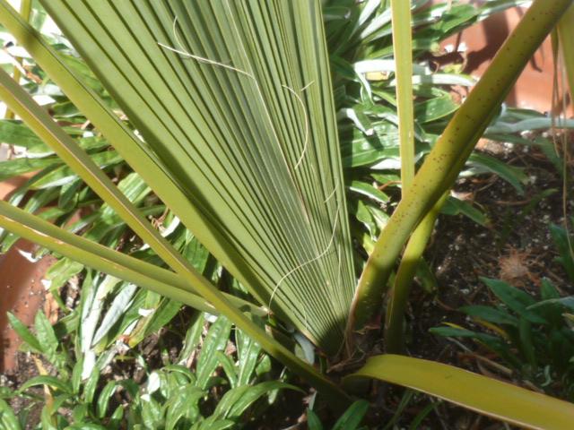palmier sabal [identification à suivre] Bulbil11