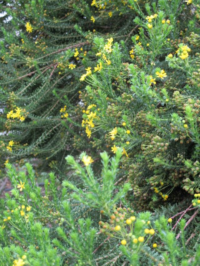Euryops virgineus - [identification] Cactus14