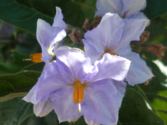 Solanum laciniatum, Solanum aviculare, Ruellia - confusions Campel10