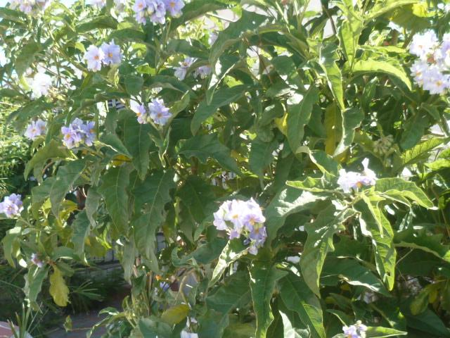 Solanum laciniatum, Solanum aviculare, Ruellia - confusions Campel11