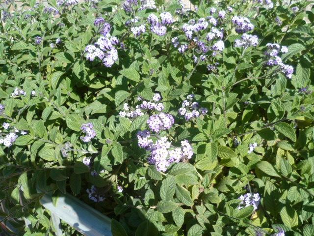 Heliotropium arborescens  Campel15
