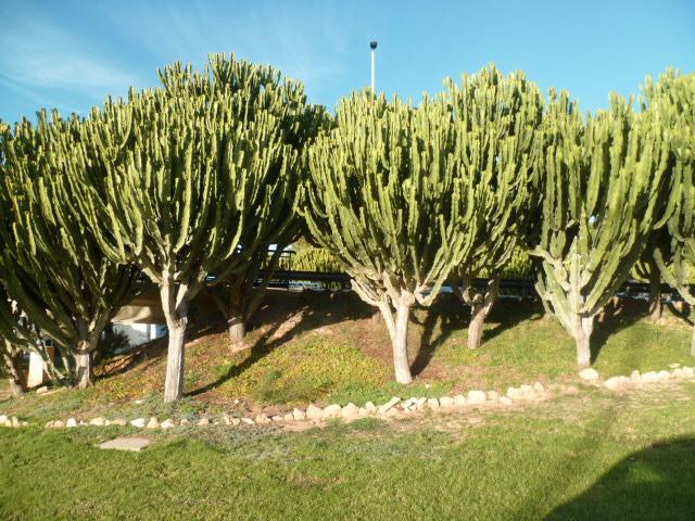 Euphorbia candelabrum Candel10