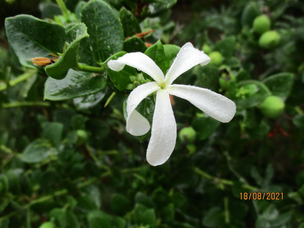 Carissa macrocarpa - prunier du Natal - Page 2 Cariss10