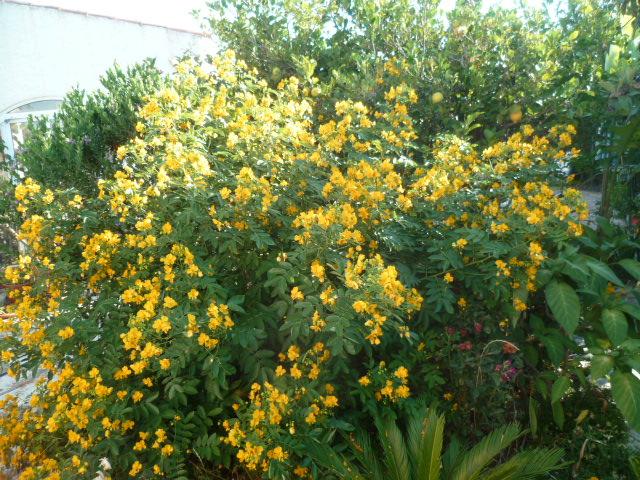 Senna floribunda et Senna corymbosa (= Cassia) - Page 2 Cassia12