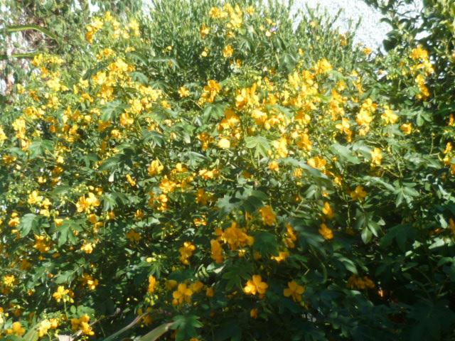 Senna floribunda et Senna corymbosa (= Cassia) - Page 2 Cassia13