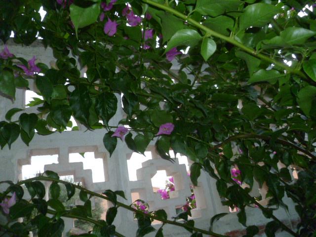 bouquets déshydratés - Page 2 Chamae14