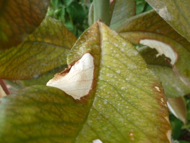 Euphorbia umbellata (= Synadenium umbellatum) - Page 2 Chatea11