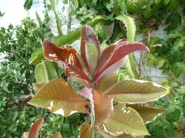 Euphorbia umbellata (= Synadenium umbellatum) - Page 2 Chatea12