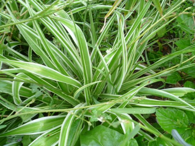 Chlorophytum comosum  - Page 2 Chloro10