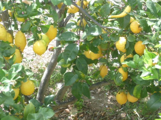 Citrus limon - citronnier des quatre saisons - Page 3 Citron13