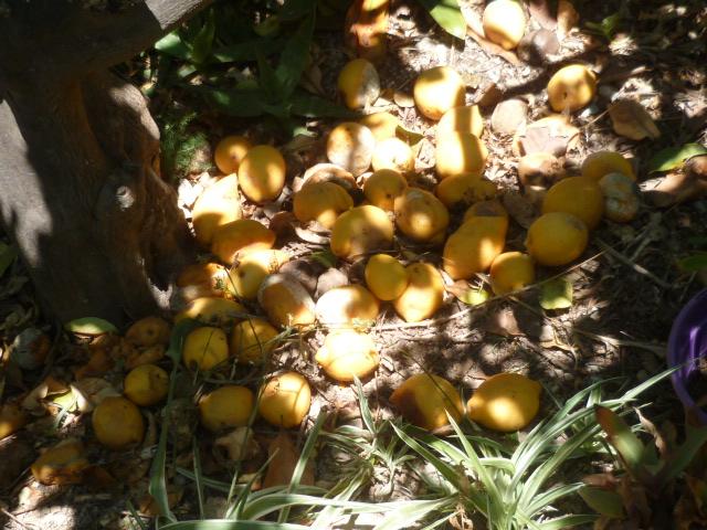 Citrus limon - citronnier des quatre saisons - Page 5 Citron16