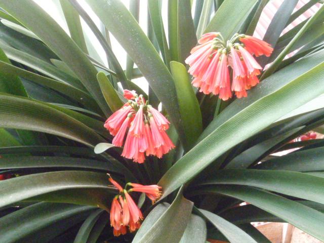 Clivia nobilis Clivia15