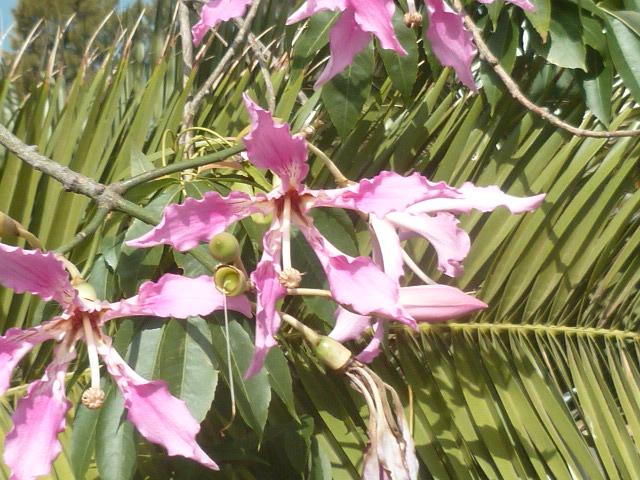 Ceiba speciosa (= Chorisia speciosa) - Page 3 Collon14