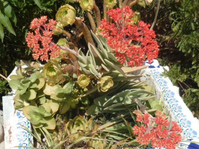 Crassula perfoliata var. falcata (= C. perfoliata var. minor = C. falcata) - Page 3 Cotyle10