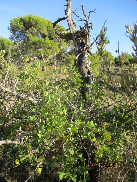 Ceratonia siliqua - caroubier - Page 2 Couleu16