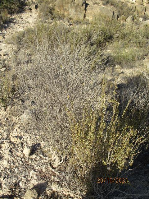 Ceratonia siliqua - caroubier - Page 2 Couleu17