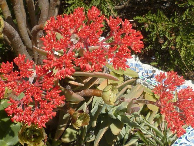 Crassula perfoliata var. falcata (= C. perfoliata var. minor = C. falcata) - Page 3 Crassu14