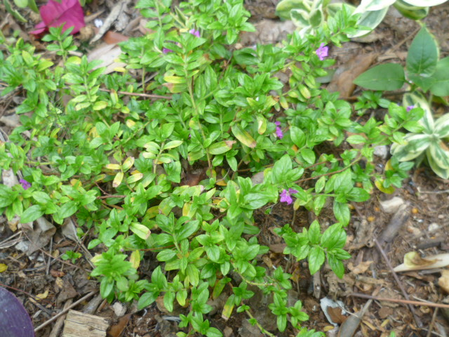 Cuphea hyssopifolia - cuphea à feuilles d'Hysope Cuphea10