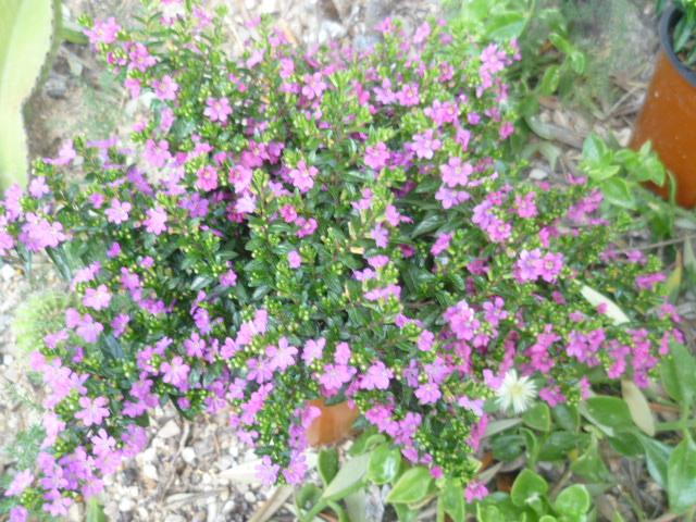 Cuphea hyssopifolia - cuphea à feuilles d'Hysope Cuphea11