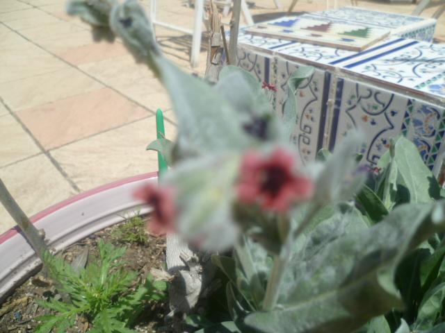 Cynoglossum cheirifolium [Identification] Cynogl10