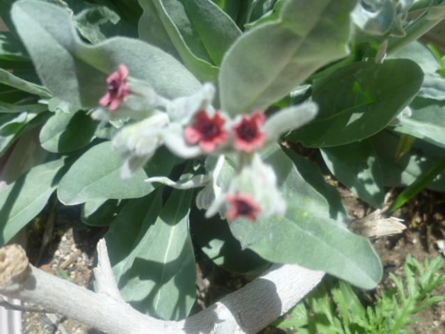 Cynoglossum cheirifolium [Identification] Cynogl11