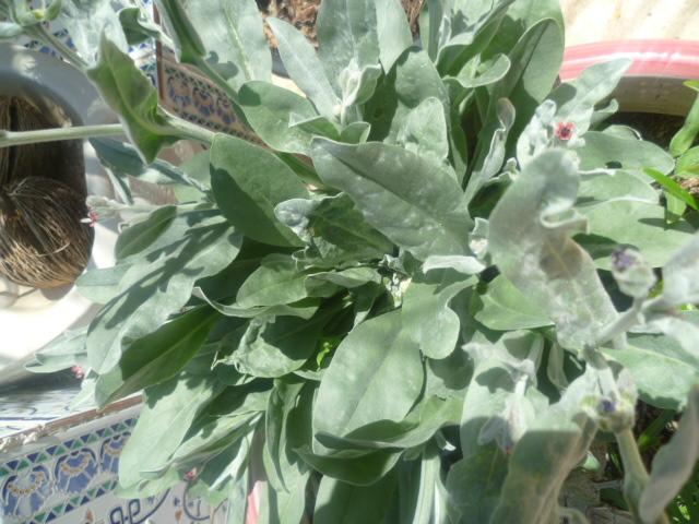 Cynoglossum cheirifolium [Identification] Cynogl13