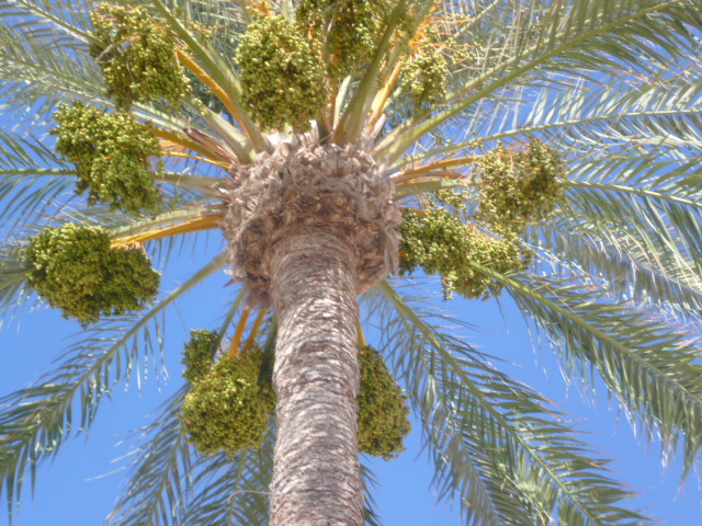 Phoenix dactylifera - palmier dattier - Page 3 Dattie10