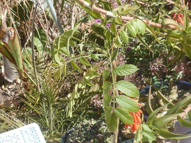 Spathodea campanulata - tulipier du Gabon - Page 2 Deloni12