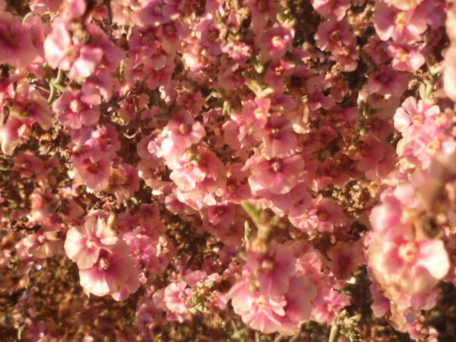 Salsola oppositifolia Diver103