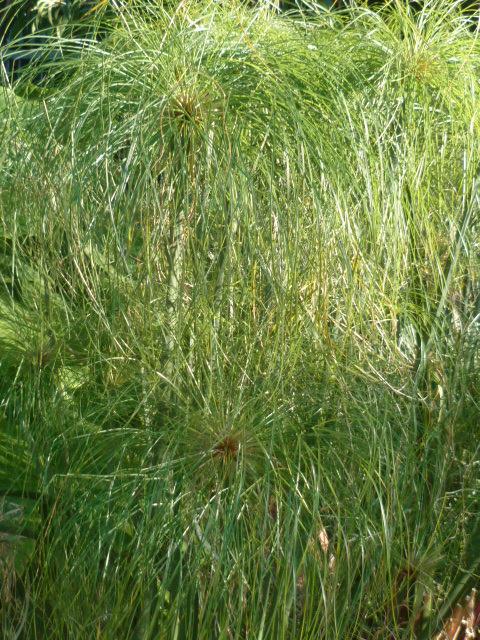 Identification cyperus Haspan ? Diver106