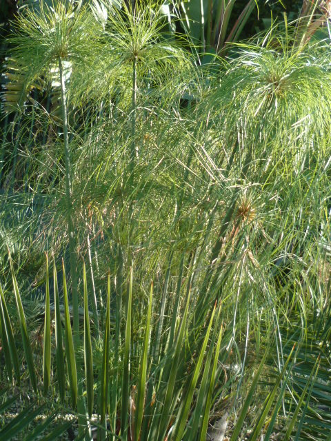 Identification cyperus Haspan ? Diver107