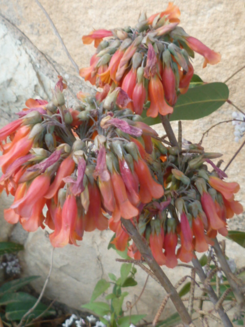Bryophyllum delagoensis (= Kalanchoe delagoensis = K. tubiflora) et hybrides - Page 4 Diver120