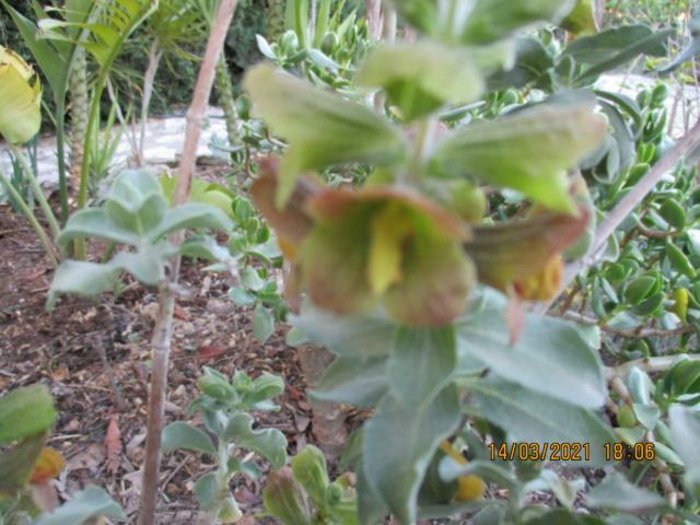 Salvia aurea (= Salvia africana-lutea) - [identification] Diver133