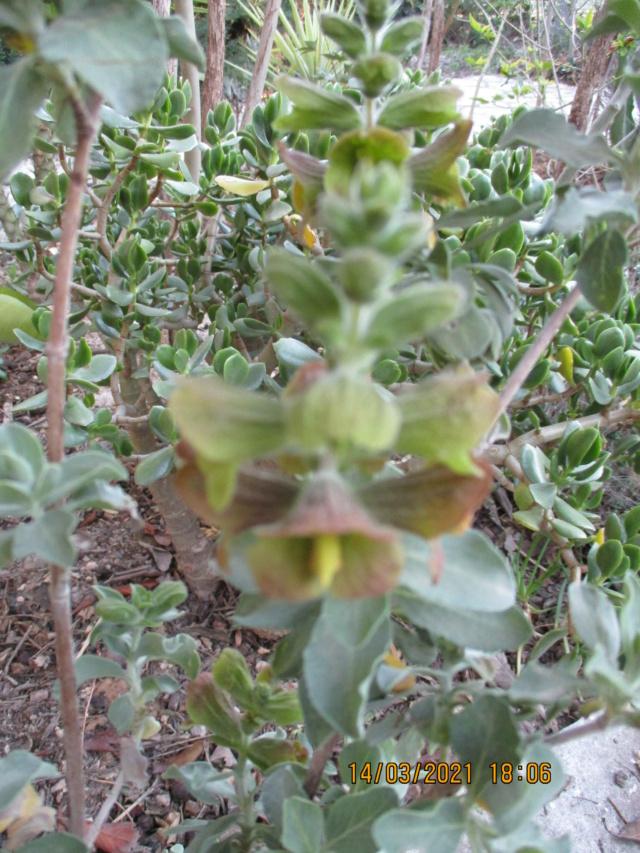 Salvia aurea (= Salvia africana-lutea) - [identification] Diver134