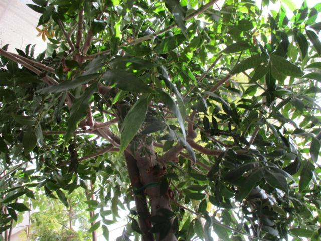 Harpephyllum caffrum Diver142