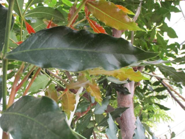 Harpephyllum caffrum Diver143
