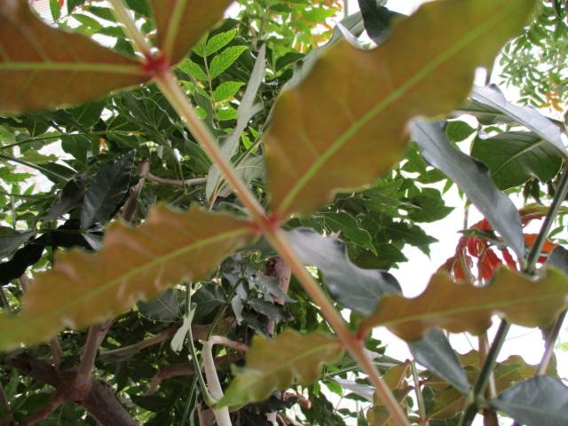 Harpephyllum caffrum Diver144