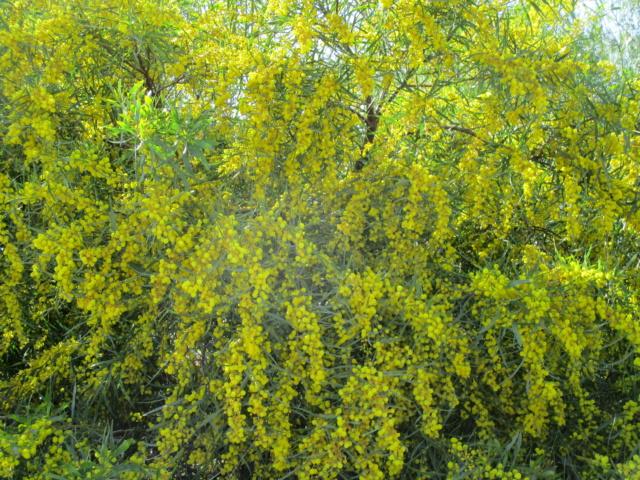 Acacia saligna Diver145