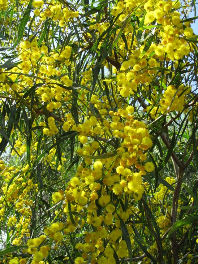 Acacia saligna Diver147