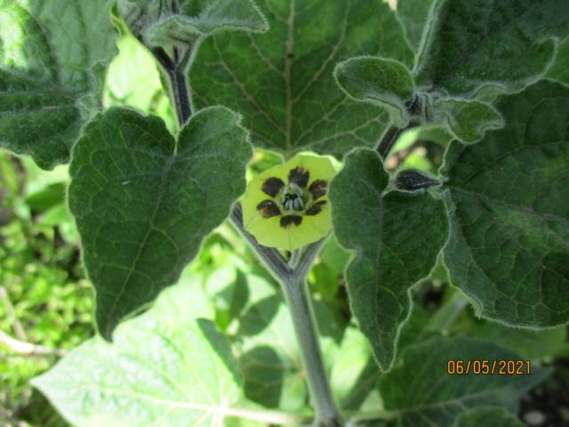 Physalis peruviana - coqueret du Pérou - Page 3 Diver149