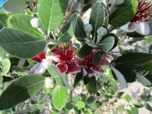 Acca sellowiana (Feijoa) - goyavier du Brésil - Page 5 Diver150