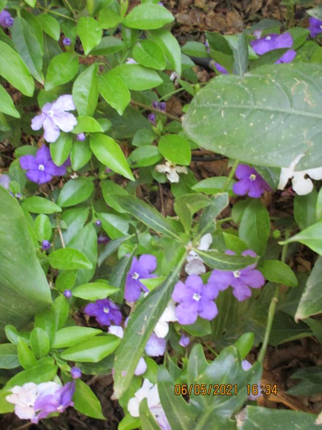 Brunfelsia pauciflora Diver153